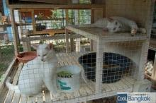 House for Breeding and Nature of Thai Cats (交配中でしょうか)