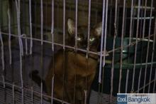 House for Breeding and Nature of Thai Cats (Copper Cat)