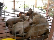 House for Breeding and Nature of Thai Cats(シャム猫:00:00)