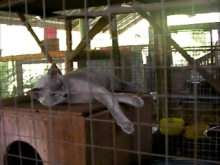 House for Breeding and Nature of Thai Cats(コラット:00:00)